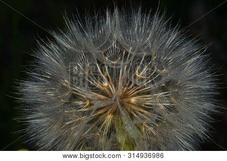 Dandelion Seeds, Perfect Geometry Of Nature , Dark Background