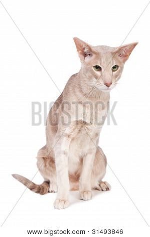 Pale oriental cat sitting on isolated white background poster