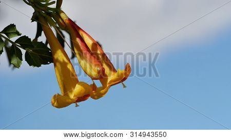Closeup Of An Orange, Yellow Blossom, Tecoma Capensis, In Front Of A Blue Sky