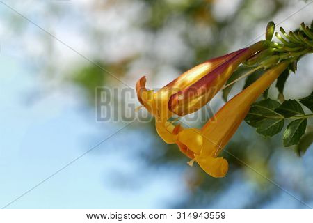 Orange, Yellow Blossom, Tecoma Capensis, In Front Of A Blue Sky, Detail Shot