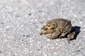 Toads during mating - on a road poster