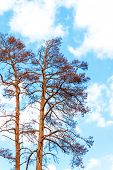 Withered pine tree on blue sky. Hot summer day. Drought in Europe. Climate change. Drying of trees in the Czech Republic. poster