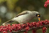 introduced bird pest enviromental vermin in australia myna poster
