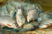 Fresh fish - carp caught in fishing net poster