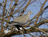 Collared Dove (Streptopelia decaocto) sitting on a tree branch. poster