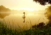 swan lswiming on the ake in winter morning poster