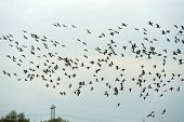 Geese flying in formation in spring in a cloudy sky poster