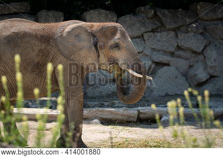 An African Bush Elephant (loxodonta Africana) In A Zoo (vienna, Austria), Sunny Day In Summer