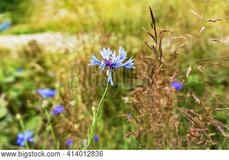 Close-up Blue Cornflower Flower And Grass On Blurred Natural Yellow Green Blurred Background In Sunl