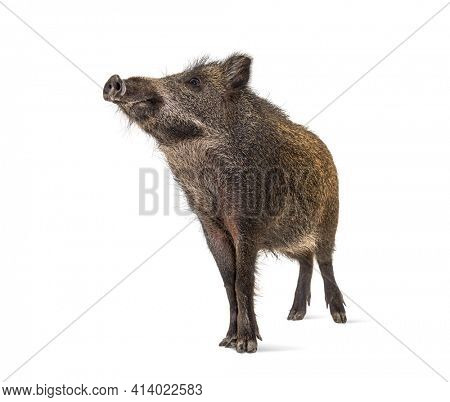Wild boar looking up, isolated on white