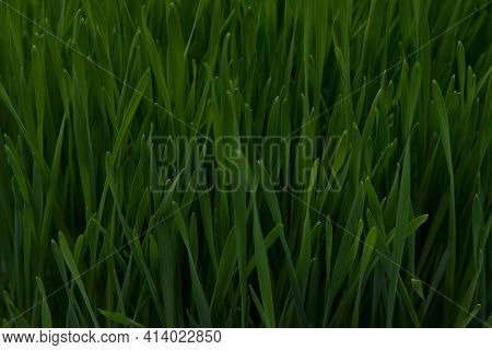 Close-up Of Fresh Juicy Grass. Green Grass Background. Thick Green Grass. The Wheat Germ. Herbal Tex