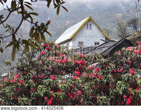 A Beautiful Cottage And Thatch House In Remote Village Of Darjeeling. Bloomed Red Rhododendron Adds
