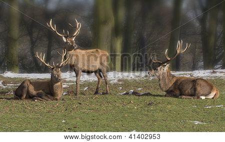 Trio of red deer stags