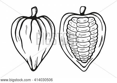 Vector Outline Hand Drawn Cocoa Bean. Healthy Food Illustration In Retro Style. Chocolate Food. Coco