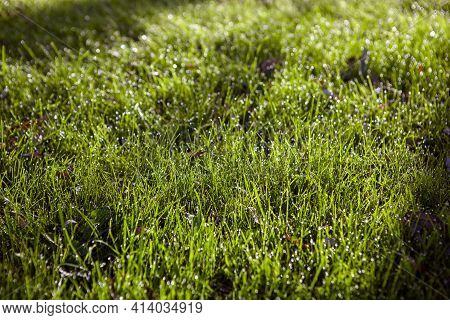 Young Green Grass Covered With Dew In The Early Morning