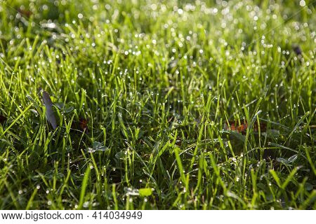 Young Green Grass Covered With The Dew In The Early Morning