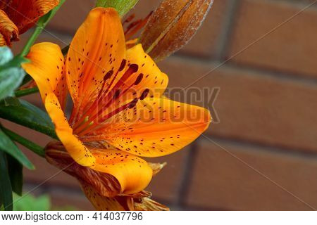 Tiger Lily. Orange Lily.red Lily Or St. John's Lily. Called St. John's Lily Because It Blooms In Lat