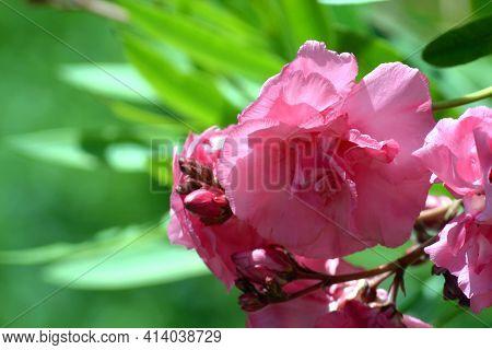 Pink Oleander. Pink Oleander On A Bokeh Background.