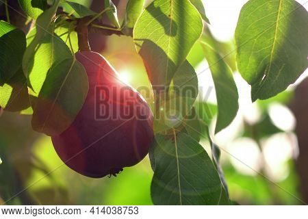 Red Williams Pear Tree. Deliciously Sweet Pear. This Pear Variety Has A Bartlett-like Shape. Its Bri