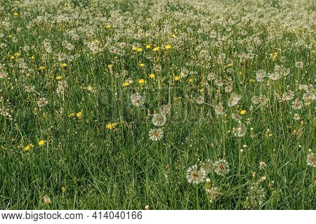 White Fluffy Dandelions On A Spring Meadow. Natural Green Spring Background. Fragile Dandelion Feath
