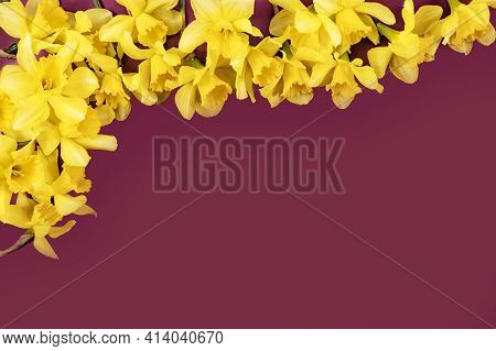 Burgundy Background With Spring Yellow Daffodils With Copy Space. Colorful Card With Daffodils For M