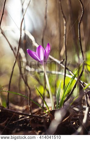 A Portrait Of A Vibrant Purple Crocus Flower Standing In Between Other Vegetation In A Garden During