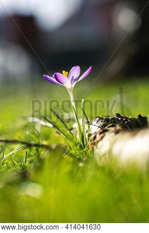 A Portrait Of A Crocus Vernus Or Purple Crocus Flower Standing In Between The Grass Of A Lawn In A G