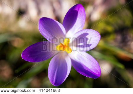 A Top Down Macro Portrait Of An Open Crocus Vernus Or Purple Crocus Spring Flower. The Yellow Pestle