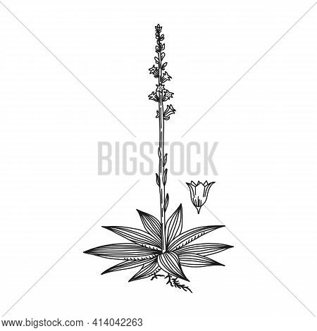 Mealy Starwort Line Art Plant Concept, Vector Illustration. Herbal Flower Drawing, Isolated On White