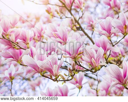 Branch Magnolia Pink Blooming Tree Flowers In Soft Light. Purple Tender Blossom Magnoliaceae Soulang