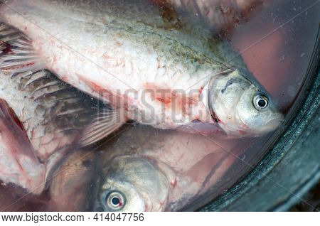 Freshly Caught Fish In The Water. Preparing Fish For Cooking