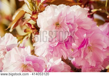 Large Double Pink Cherry Blossoms Close-up. Hanami Japan Sakura Blossom Festival Tokyo. Spring Delic