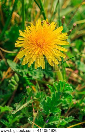 Single Bloom Of The Flowers Dandelions In A Meadow. Insect Ant Between The Yellow Petals In Detail.