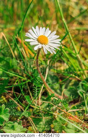 Meadow Flower In Spring. Single Daisy In A Meadow. White Flowers In Sunshine With Yellow Pollen And