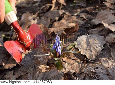 A Blue Scilla (scilla Siberica) Flower Is Dug Up In The Spring Garden. Transplanting Garden Plants.