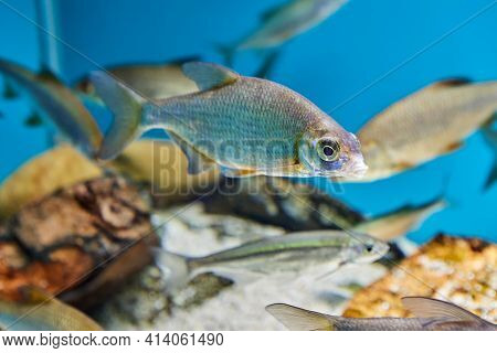 Roach Or Rutilus From Carp Fish Family In Public Aquarium In City Of St. Petersburg In Russia.