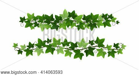 Green Climbing Ivy Creeper Branches Isolated On White Background. Hedera Vine Botanical Border Or Fr