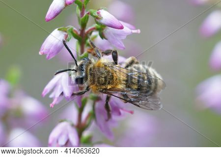 Closeup Of A Female Of The Heather Mining Bee , Andrena Fuscipes On Purple Flowers Of It's Host Plan