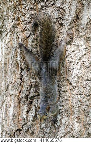 Color Morphed Eastern Gray Squirrel Hanging Onto Tree. Santa Clara County, California, Usa.