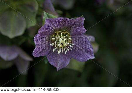 Hellebores (helleborus Atrorubens) Lenten Rose Flower In Macro Closeup View