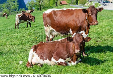 Pinzgauer Cows In A Field Next To A Farm. Pinzgauer Cattle On Green Pasture In Springtime. A Breed O