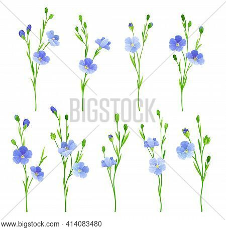 Flax Or Linseed As Cultivated Flowering Plant Specie With Pale Blue Flowers On Stem Vector Set