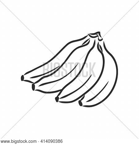 Banana Fruit, Bunch. Organic Nutrition Healthy Food. Engraved Hand Drawn Vintage Retro Vector Lucuma