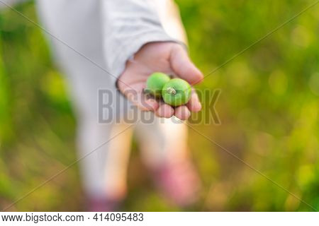 The Child Holds Out In His Hand Small Unripe Green Apples.