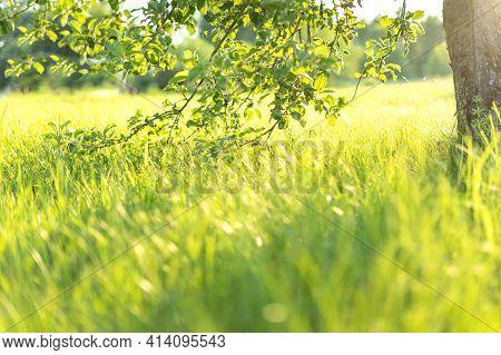 Green Grass Natural Background. Springtime Season. Selective Focus. Beautiful Landscape In Green Gra
