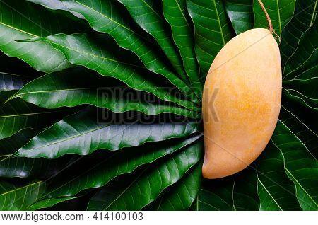 Ripe Yellow Thailand Barracuda Mango On Its Leaves Background.