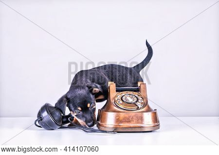 Jack Russell Puppy Dog Is Sniffing An Old Copper And Bakelite Telephone. Telephone Receiver Is Next