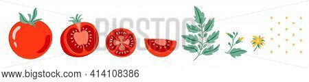 Red Tomato Vector Illustration. Cut Tomato, Tomato Slice, Leaves, Flowers And Tomato Seeds. Cartoon