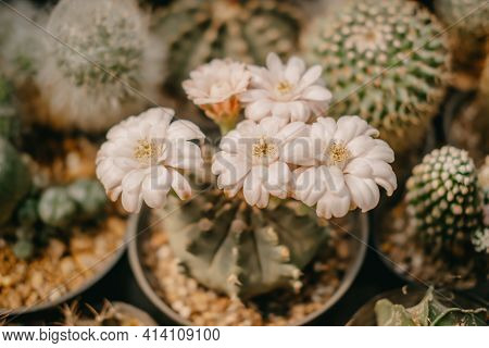Close-up Of Cactus Flowers, Gymnocalycium Sp. With White Flower Is Blooming On Pot, Succulent, Cacti