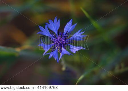 Blooming Blue Cornflower Flower In The Meadow